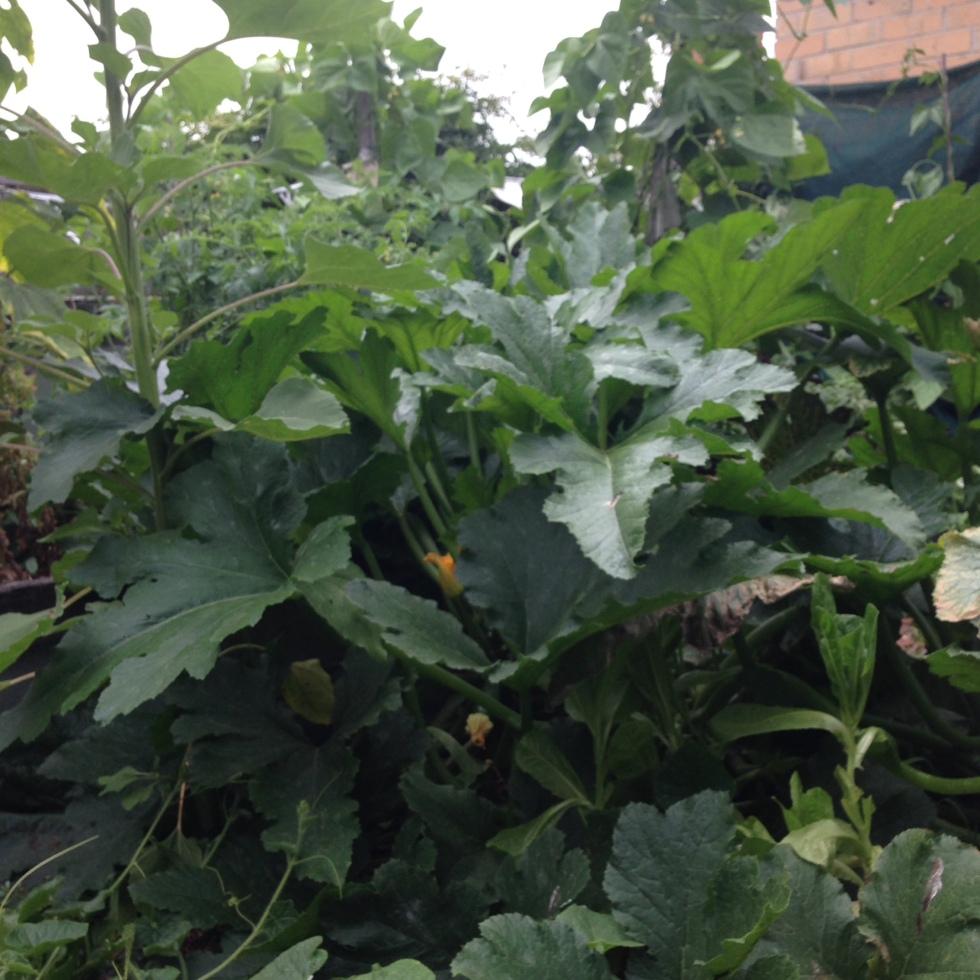 Zucchini01_garden